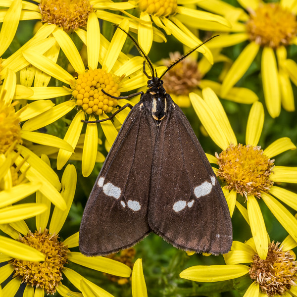 Magpie moth (Nyctemera annulata), on ragwort (Jacobaea vulgaris). Junction Flat, Matukituki River East Branch, Mount Aspiring National Park.