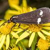 Magpie moth (Nyctemera annulata), on ragwort (Jacobaea vulgaris). Junction Flat, Matukituki River East Branch, Mount Aspiring National Park.