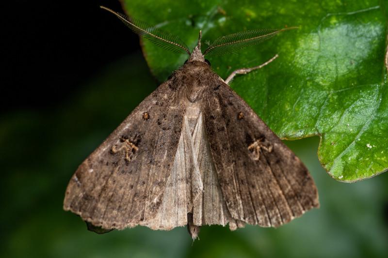 Slender owlet moth (Rhapsa scotosialis). Cullen Point Track, Havelock.