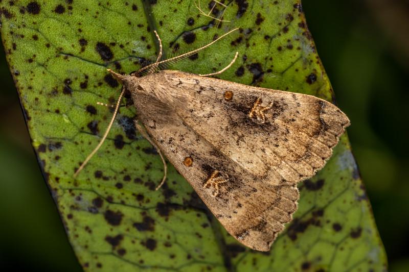 Slender owlet moth (Rhapsa scotosialis). Mahakirau, Coromandel.