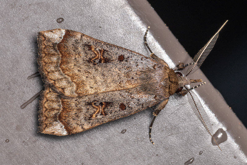 Slender owlet moth (Rhapsa scotosialis). Te Whare Okioki, Kaimai Range, Waikato.