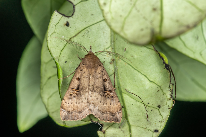 Slender owlet moth (Rhapsa scotosialis). Te Horo Tunnel, Whitecliffs Walkway, Taranaki.