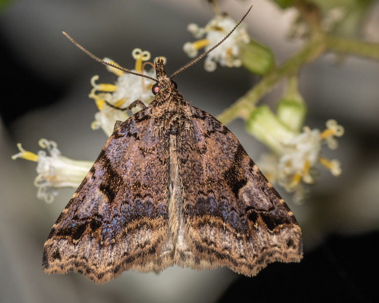 Erebid moth (Trigonistis anticlina). Duncan Bay, Tennyson Inlet, Marlborough Sounds.