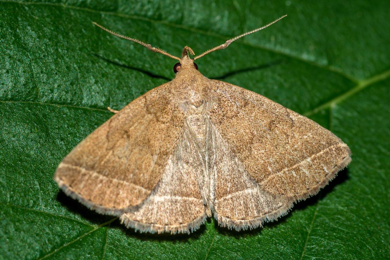 Wavy-lined Zanclognatha (Zanclognatha jacchusalis). Knots on the antennae indicate it's a male. St Croix Falls, WI, USA.