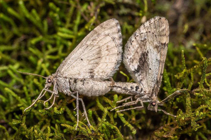 Looper moth (Asaphodes aegrota). Onamalutu Road, Blenheim.