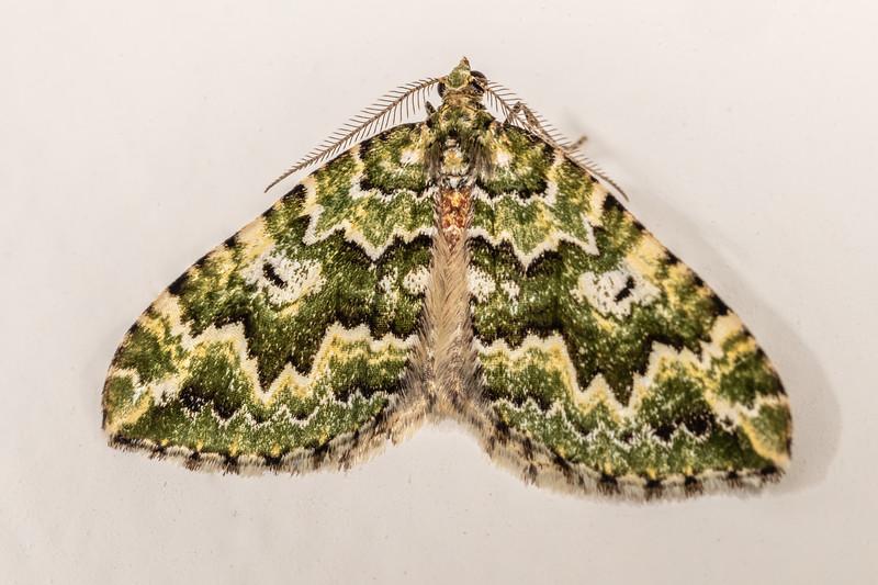 Looper moth (Asaphodes beata). Opoho, Dunedin.
