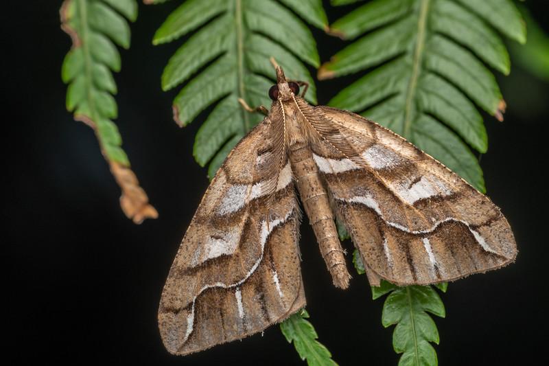 Looper moth (Chalastra aristarcha). Puketotara Hut, Matemateaonga Range.