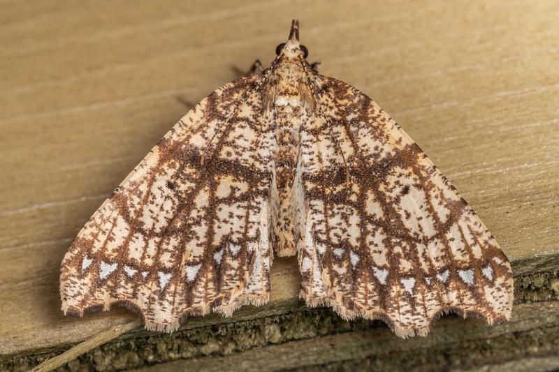 Looper moth (Chalastra pellurgata). Te Whare Okioki, Kaimai Range, Waikato.
