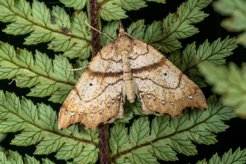Looper moth (Chalastra pellurgata). Patea Loop Track, Taranaki.