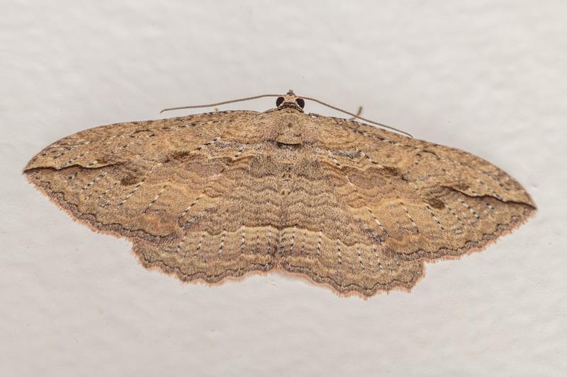 Australian pug moth (Chloroclystis filata). Opoho, Dunedin.