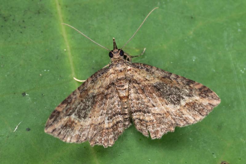 Australian pug moth (Chloroclystis filata). Te Horo Tunnel, Whitecliffs Walkway, Taranaki.