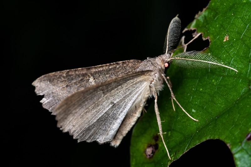 Kawakawa looper (Cleora scriptaria). Brook Waimarama Ecosanctuary, Nelson.