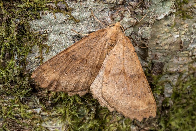 Kawakawa looper (Cleora scriptaria). Thisbe Hut, Catlins Forest.