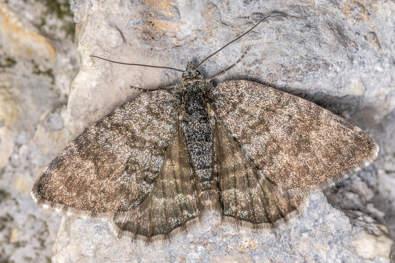 Looper moth (Dasyuris hectori). Poverty Basin, Mount Owen, Kahurangi National Park.