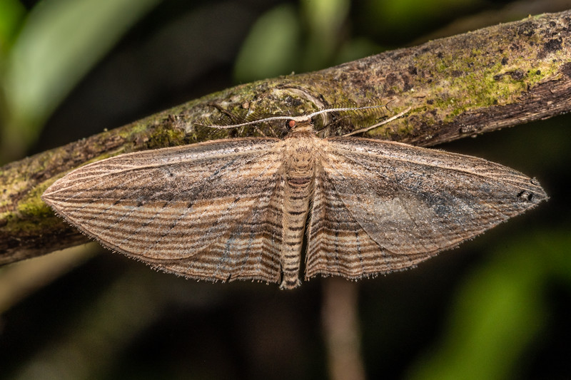 Cabbage tree moth (Epiphryne verriculata). Mangahopue Arch Track, Waitomo.