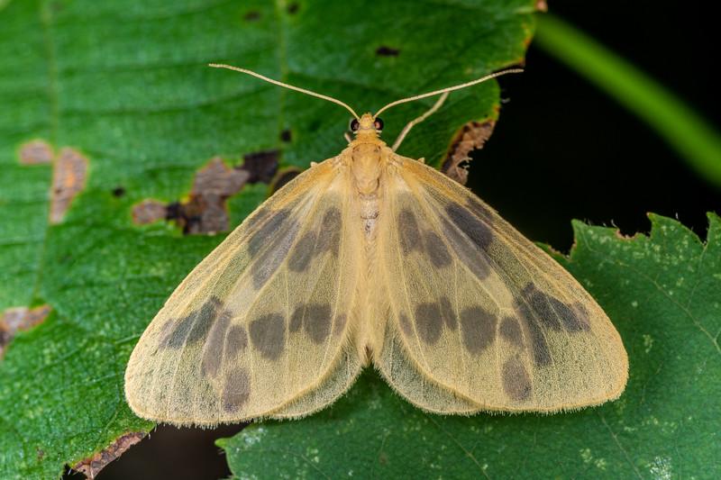 Beggar moth (Eubaphe mendica). Wild River State Park, MN, USA.