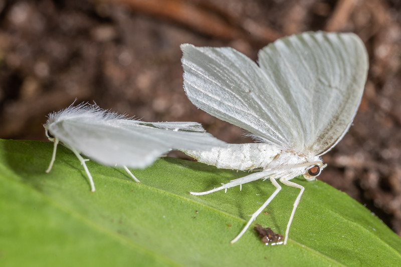 Snowy geometer moth (Eugonobapta nivosaria). <br /> Wild River State Park, MN, USA.