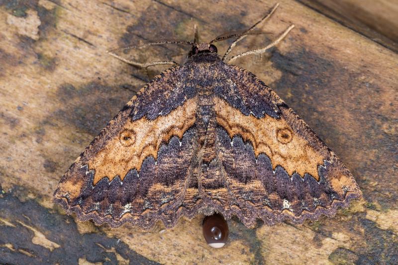 Brown evening moth (Gellonia dejectaria). Dawson Falls, Taranaki.