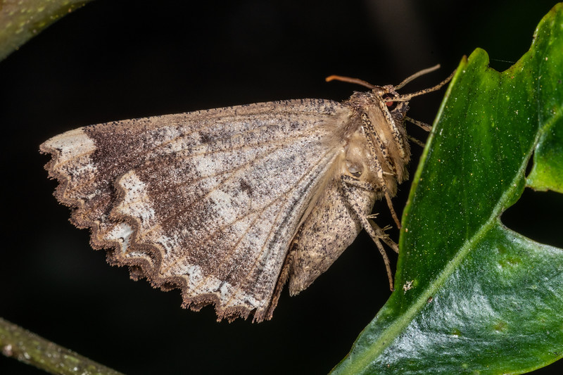 Brown evening moth (Gellonia dejectaria). Cullen Point Track, Havelock.