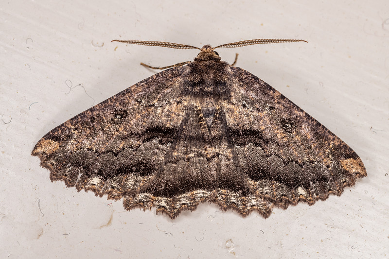 Brown evening moth (Gellonia dejectaria). Opoho, Dunedin.