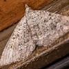 Helastia corcularia. OBHS Lodge, Matukituki River West  Branch.