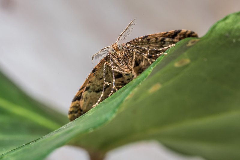 Carpet moth (Homodotis falcata). Opoho, Dunedin.