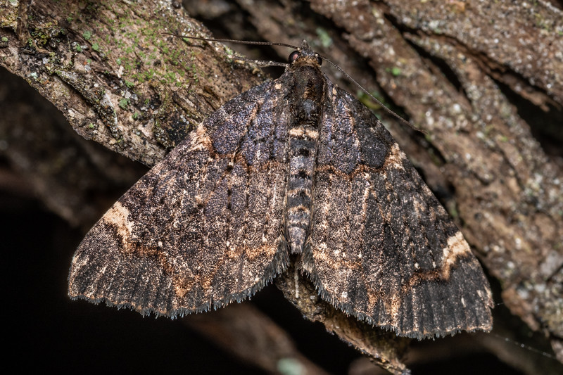 Looper moth (Hydriomena arida). Puysegur Point, Fiordland National Park.