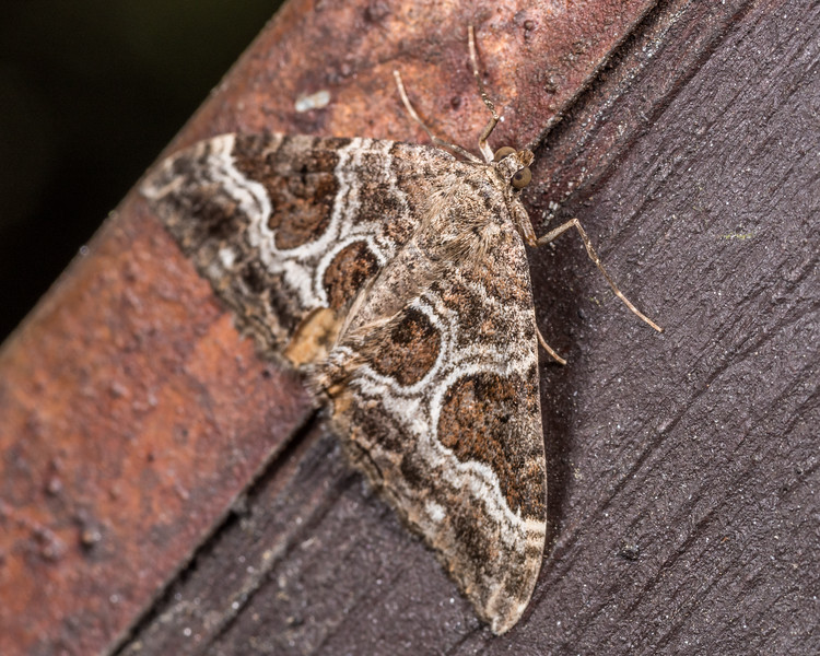 Dark-banded carpet moth (Hydriomena deltoidata). OBHS Lodge, Matukituki River West Branch.