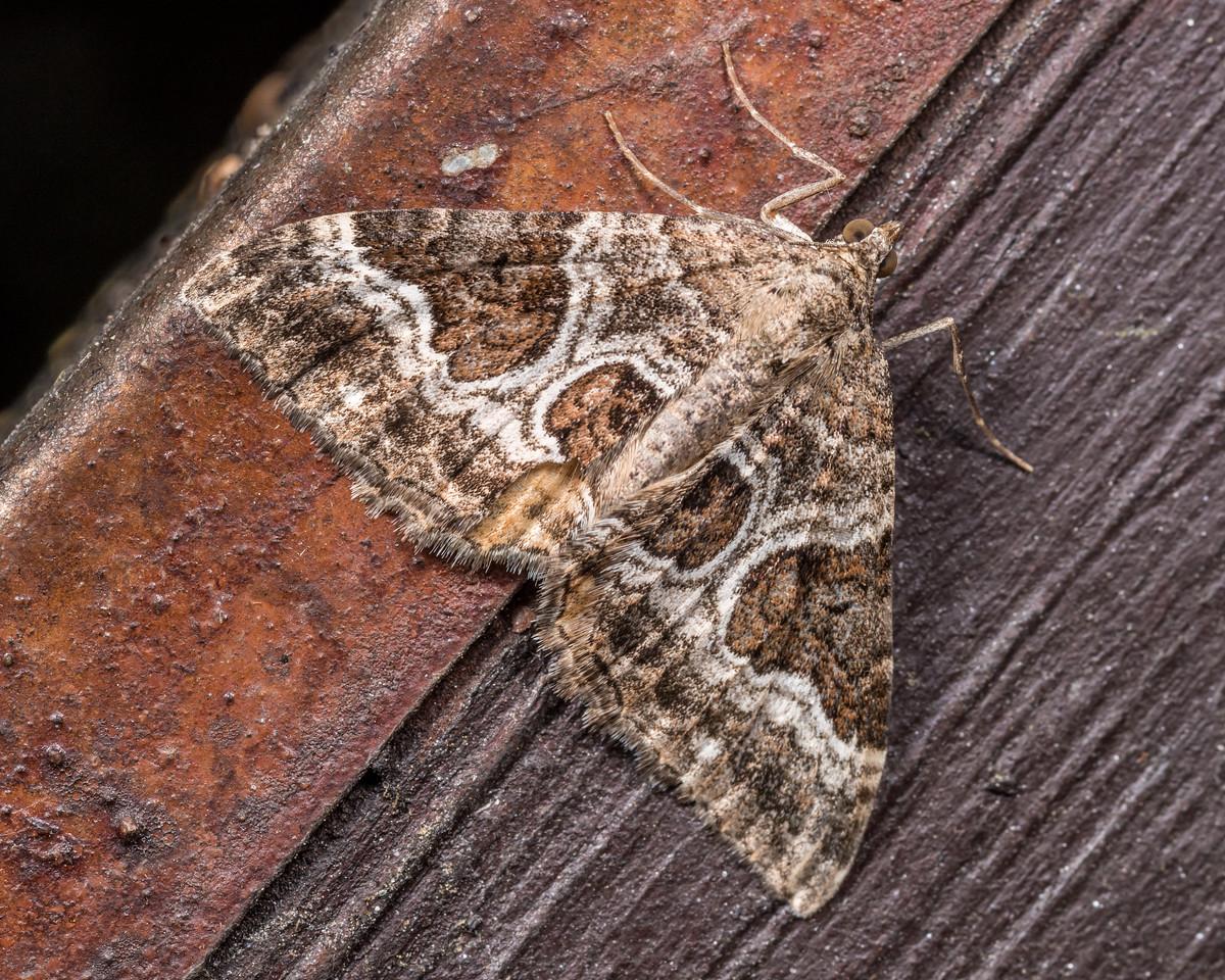 Dark-banded carpet moth (Hydriomena deltoidata). OBHS Lodge, Matukituki River West Branch.