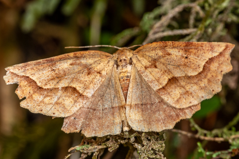 Looper moth (Ischalis variabilis). Mount Fox Track, Westland.