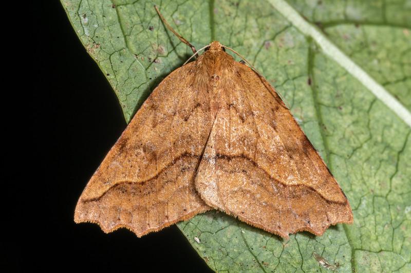 Looper moth (Ischalis variabilis). Danseys Reserve, Rotorua.
