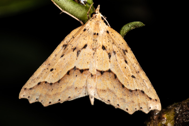 Looper moth (Ischalis variabilis). Mangahopue Arch Track, Waitomo.