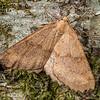 Looper moth (Ischalis variabilis). Thisbe Hut, Catlins Forest.