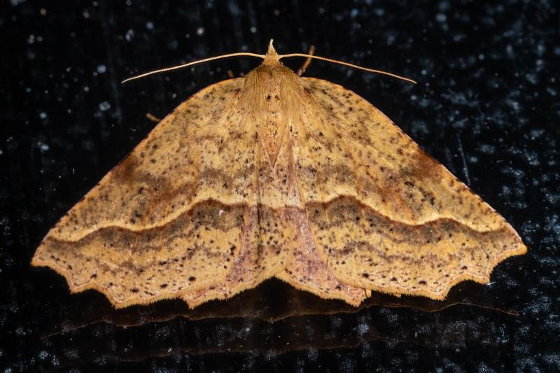 Looper moth (Ischalis variabilis). Te Whare Okioki, Kaimai Range, Waikato.