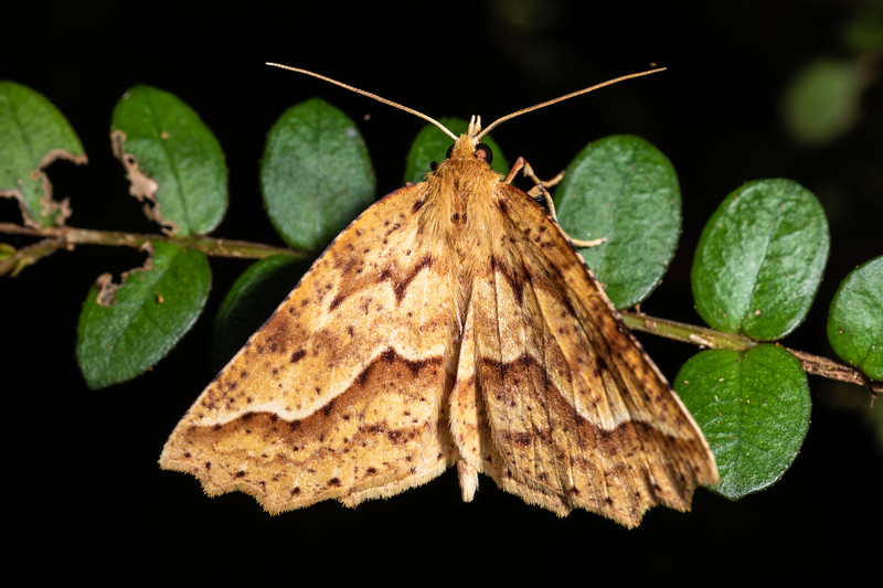 Looper moth (Ischalis variabilis). Awatiro Farm, Waitomo.