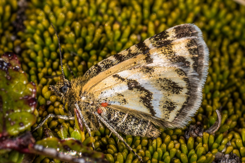 A carpet moth of the genus Notoreas on the summit of Mount Arthur, Kahurangi National Park.