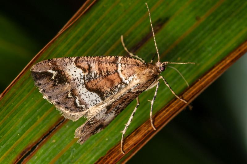 Horopito flash (Pseudocoremia fascialata). Patea Loop Track, Taranaki.