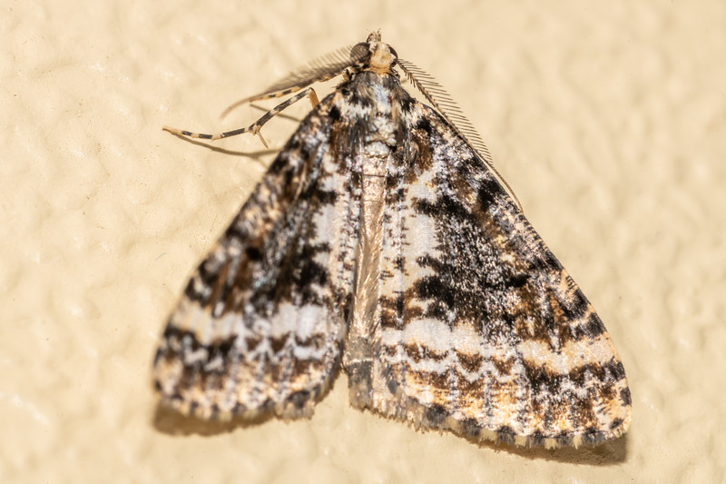 Forest looper ( Pseudocoremia leucelaea). Opoho, Dunedin.