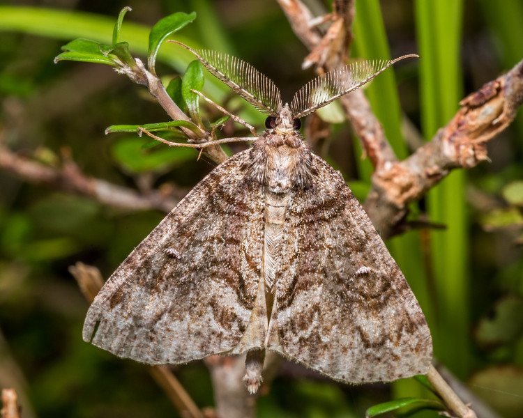 Looper moth (Pseudocoremia suavis). Lewis Pass.