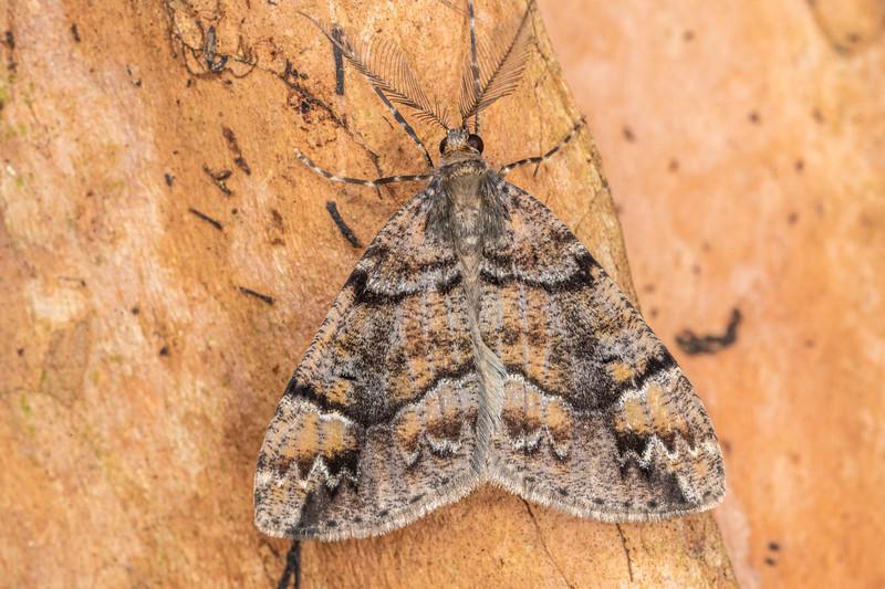 Looper moth (Pseudocoremia spp.). Hinau Track, Kaikōura.