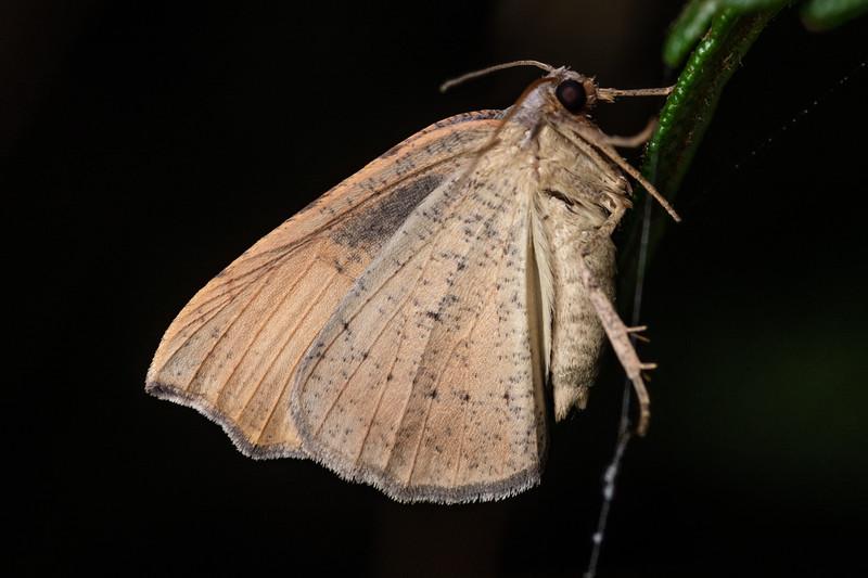 Looper moth (Sestra flexata). Mohi Bush, Havelock North.