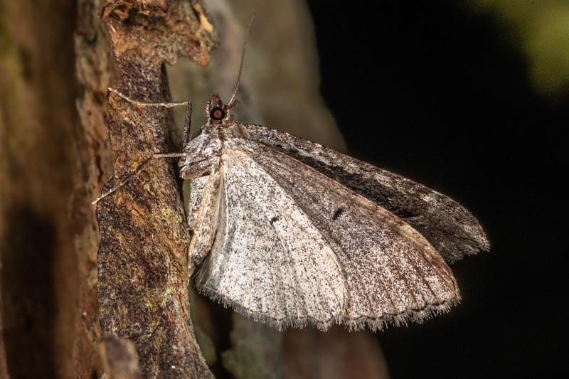 Looper moth (Family Geometridae). Piano Flat, Waikaia Forest.