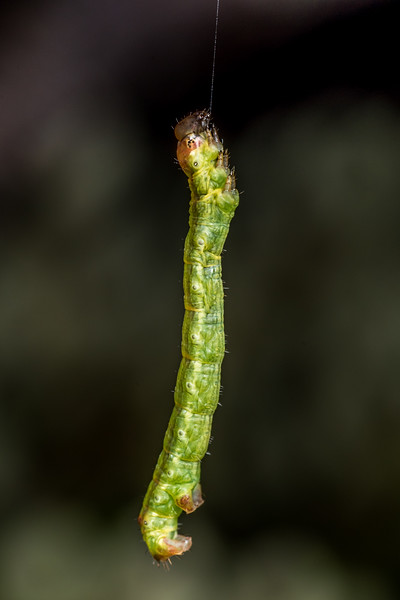 Looper moth (Geometridae) caterpillar. Lake Monk, Fiordland National Park.