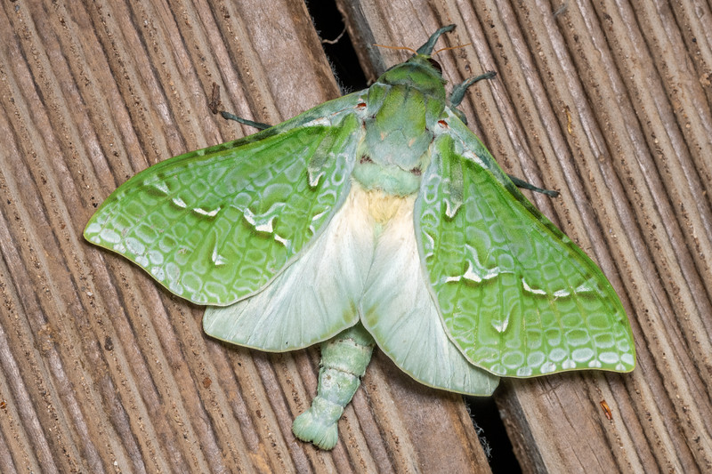Pūriri moth (Aenetus virescens). Alice Nash Memorial Heritage Lodge, Ruahine Forest.
