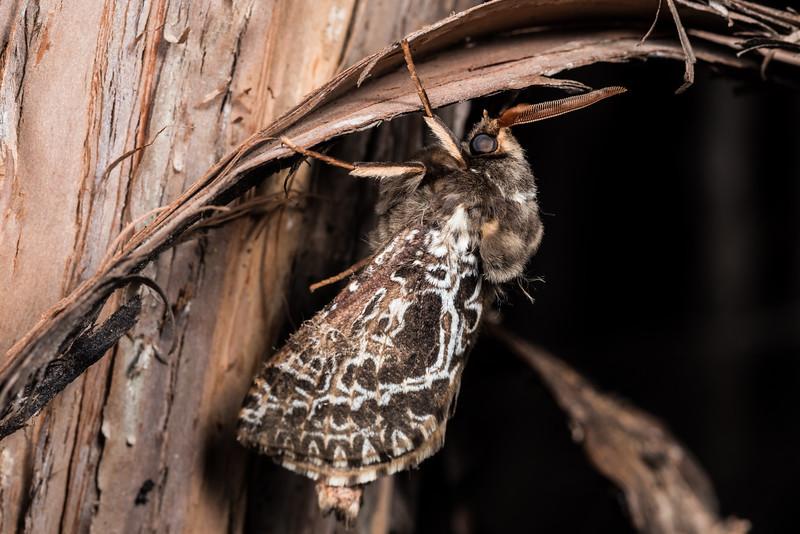 Great ghost moth (Aoraia rufivena). Silverpeaks, Dunedin, Otago.