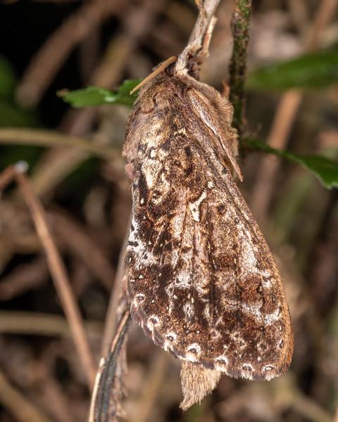 Forest porina (Dumbletonius unimaculatus). Waipu Caves, Whangarei, Northland.