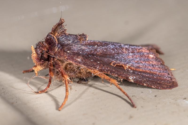 Noctuid moth (Austramathes purpurea). Lake Alabaster, Fiordland National Park.
