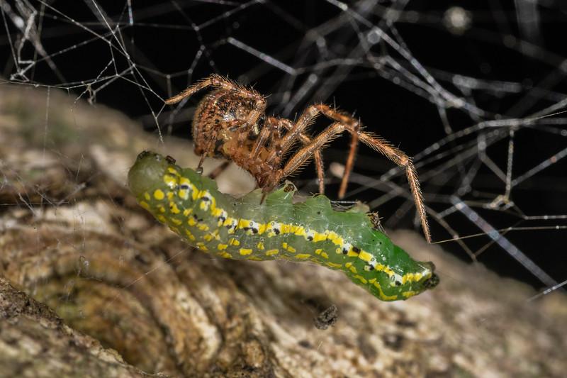 Cobweb spider (Theridion zantholabio) preying on Austramathes purpurea caterpillar. Nydia Lodge, Nydia Bay, Marlborough Sounds.
