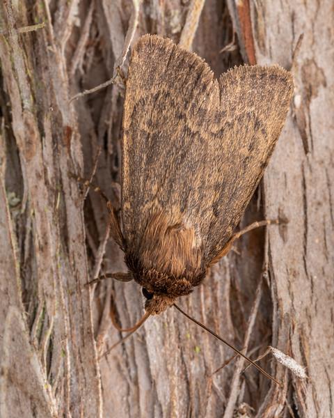 Noctuid moth (Bityla defigurata). Pioneer Park, Canterbury.