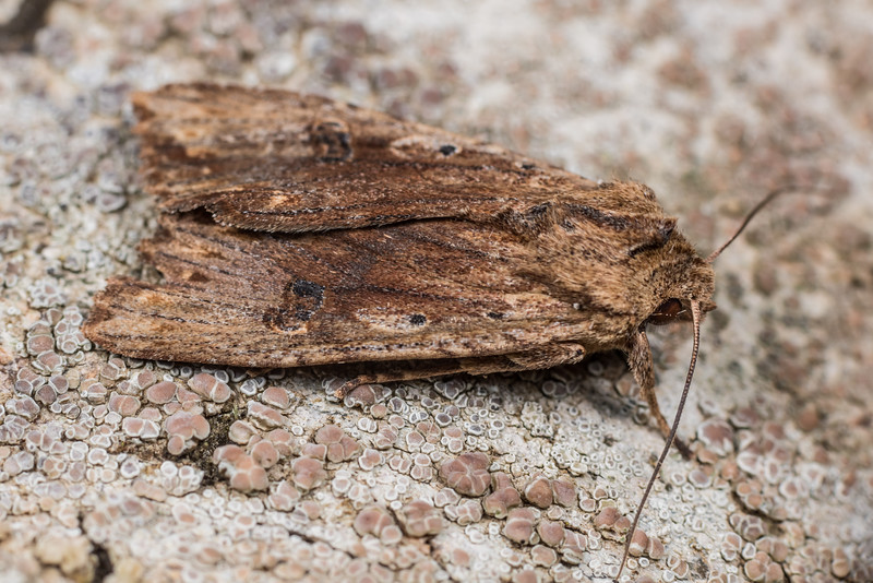 Dart moth (Graphania rubescens). Deep Stream, Otago.